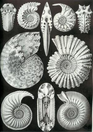 Ernst Haeckel Ammoniten (PD) https://commons.wikimedia.org/wiki/File:Haeckel_Ammonitida.jpg